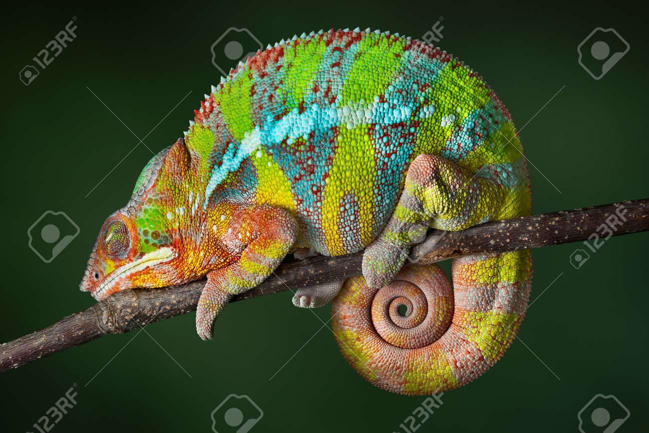 A ambilobe panther chameleon is sleeping on a branch. Stock Photo - 13307443