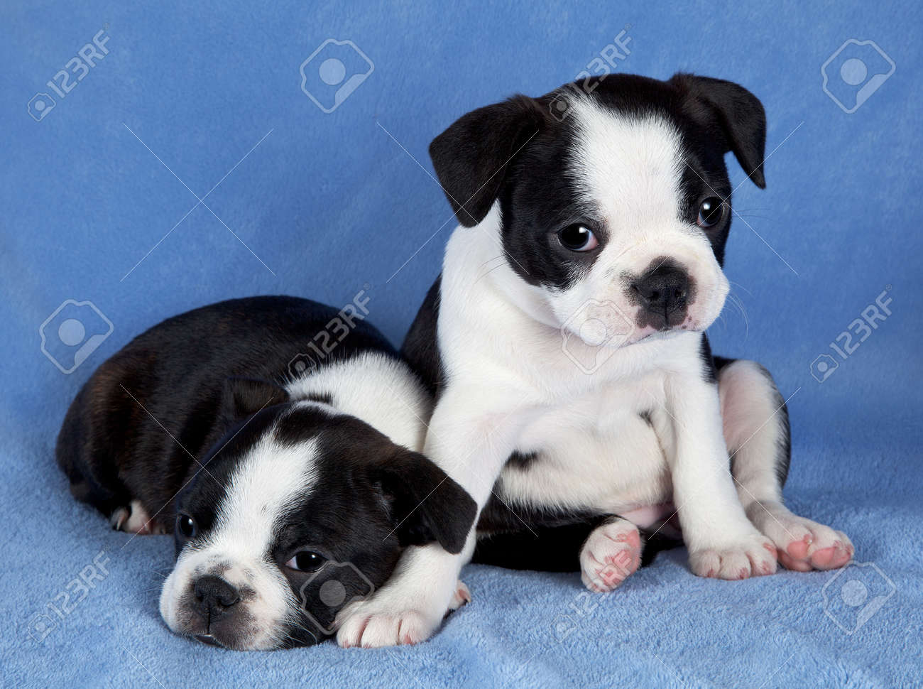 A portrait of two 7 week old female Boston terrier littermates. Stock Photo - 14125048