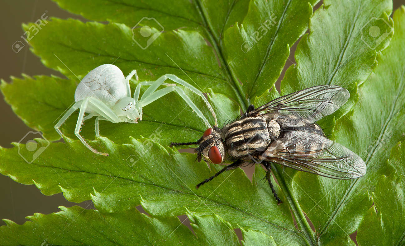 A female crab spider is sitting next to a fly. Stock Photo - 14468202