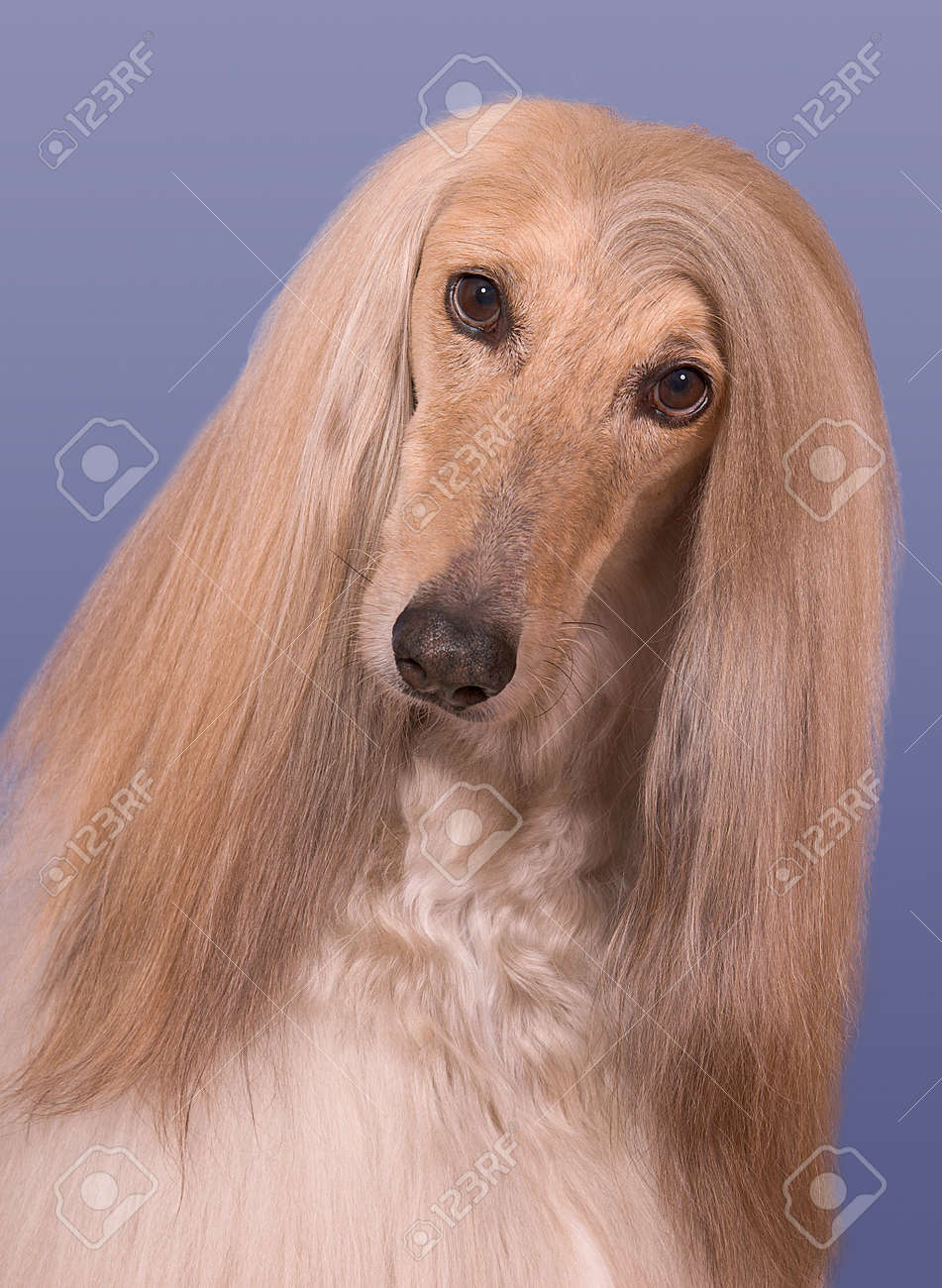 A portrait of a male afghan hound named Snickers Stock Photo - 15408514