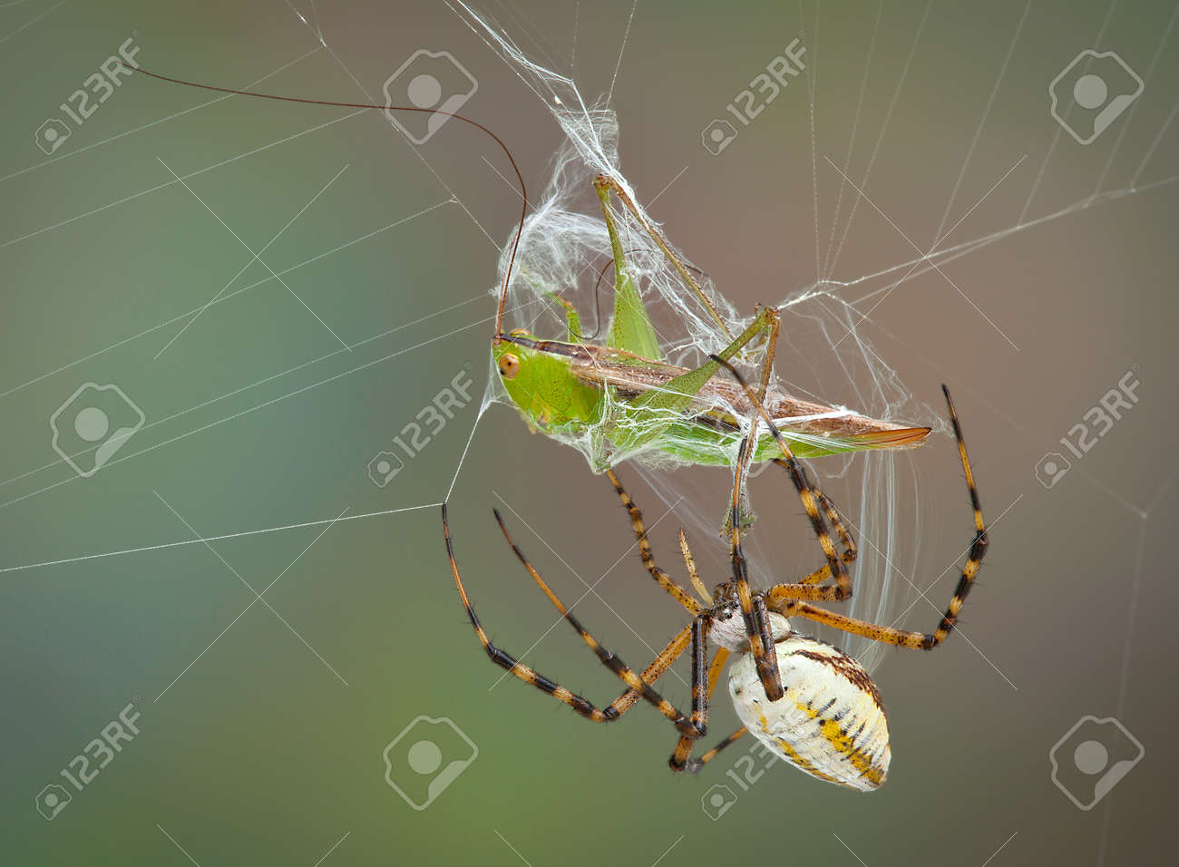 A female banded argiope spider is wrapping up a hopper caught in her web. Stock Photo - 15408521