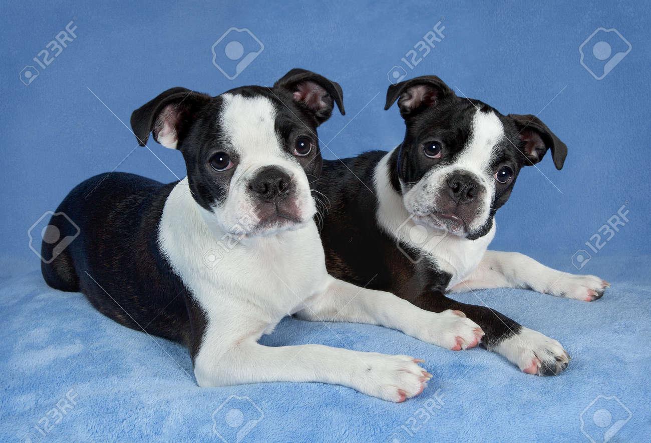 A portrait of two female Boston terrier littermates. Stock Photo - 15408526