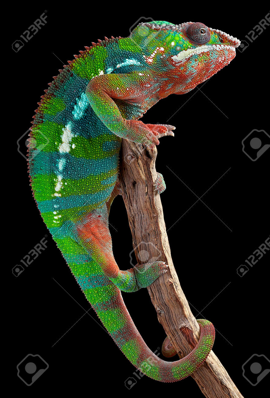 a male panther chameleon is hanging on to a branch stock photo