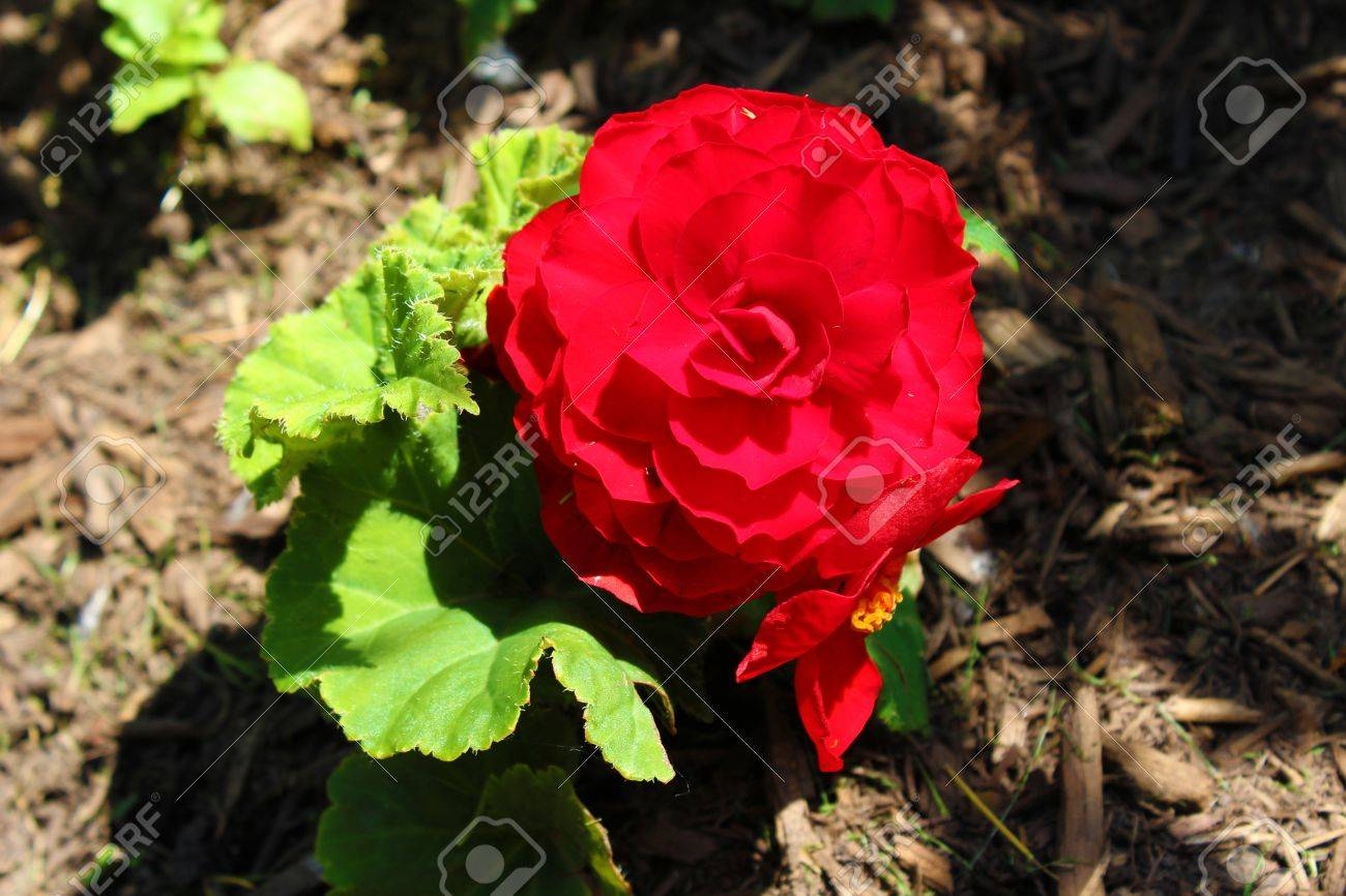 Begonia flower red the begonia flower is a subtropical and begonia flower red the begonia flower is a subtropical and tropical perennial plant stock mightylinksfo