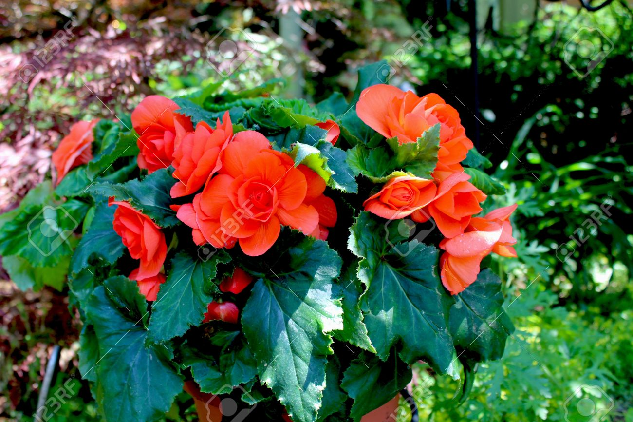 Begonia Plant The Begonia Flower Is A Subtropical And Tropical