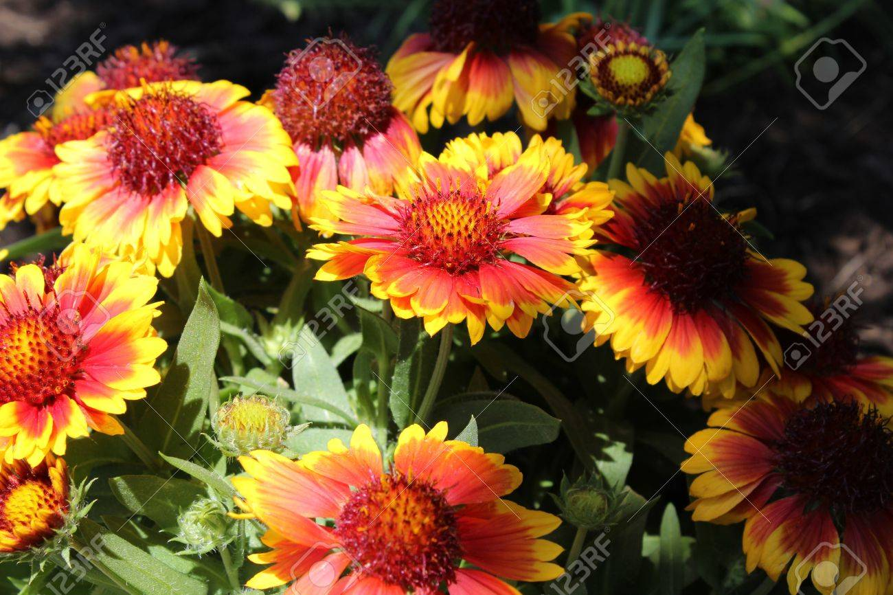 Blanket Flowers Gaillardia Or The Blanket Flower Is A Perennial