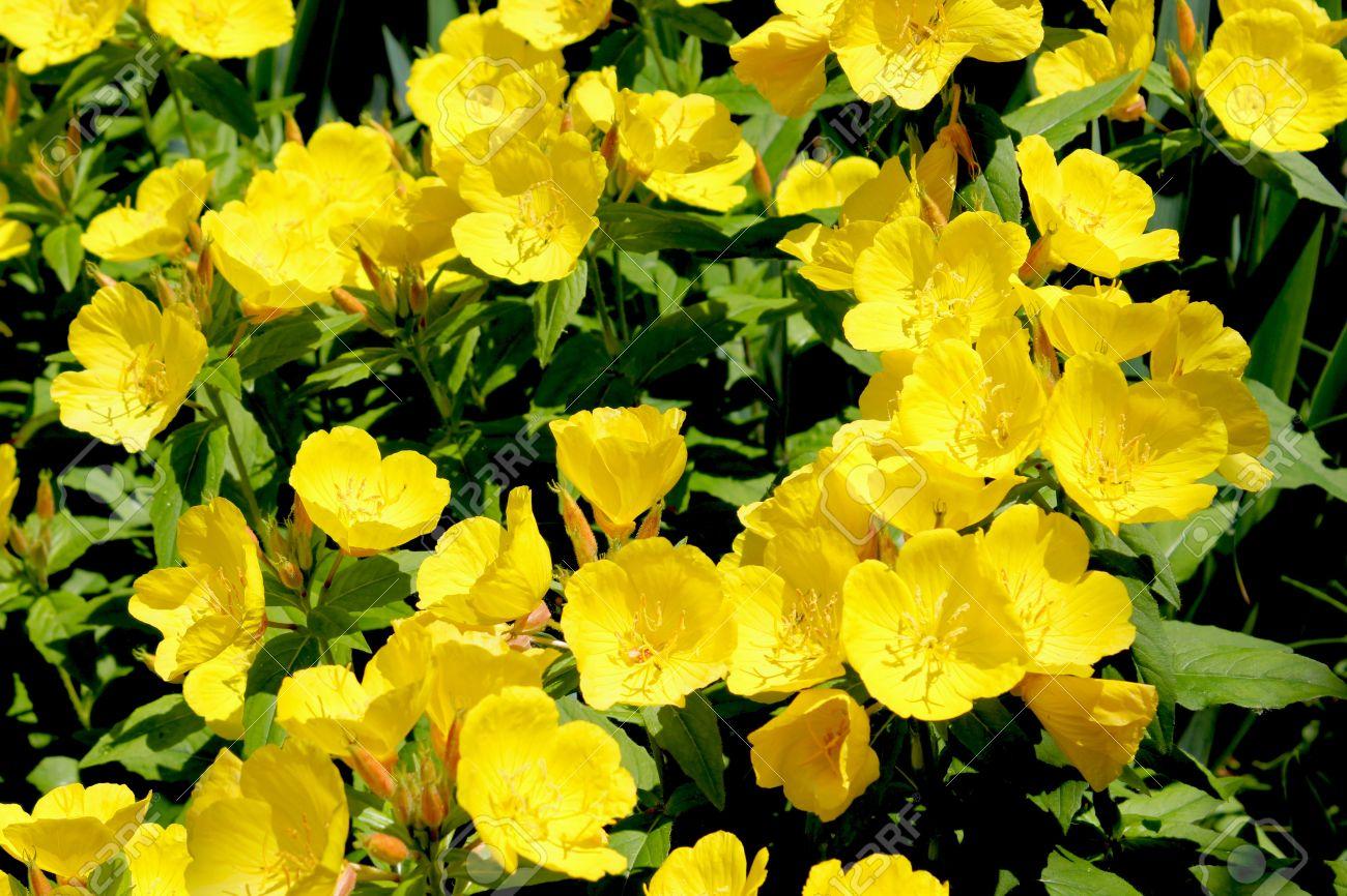 Fiori Gialli Perenni.Immagini Stock Buttercup Fiori Giallo Ranunculus O Buttercup