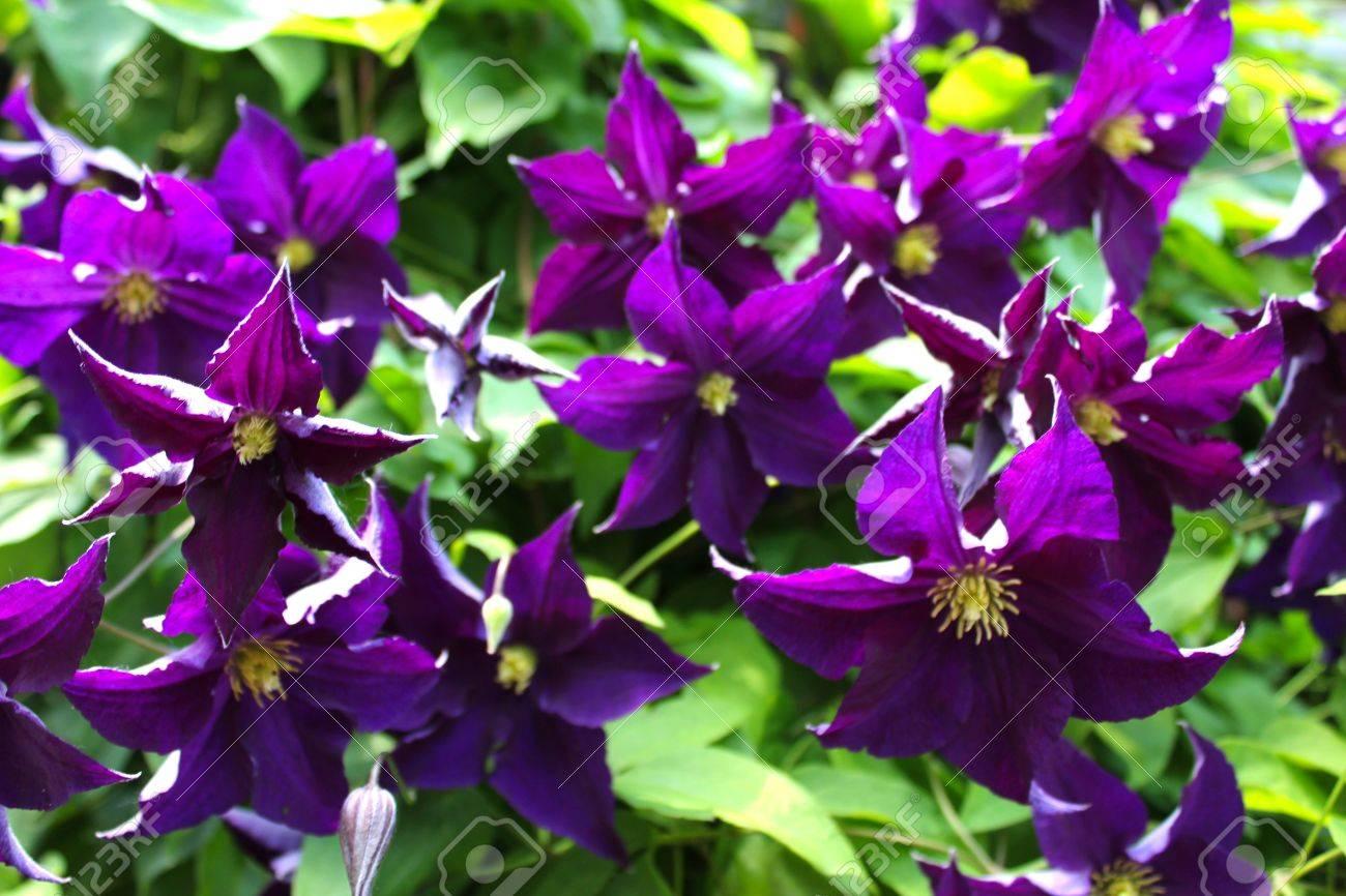 Pianta Fiori Viola.Immagini Stock Clematis Fiori Viola Il Fiore Clematis E Una