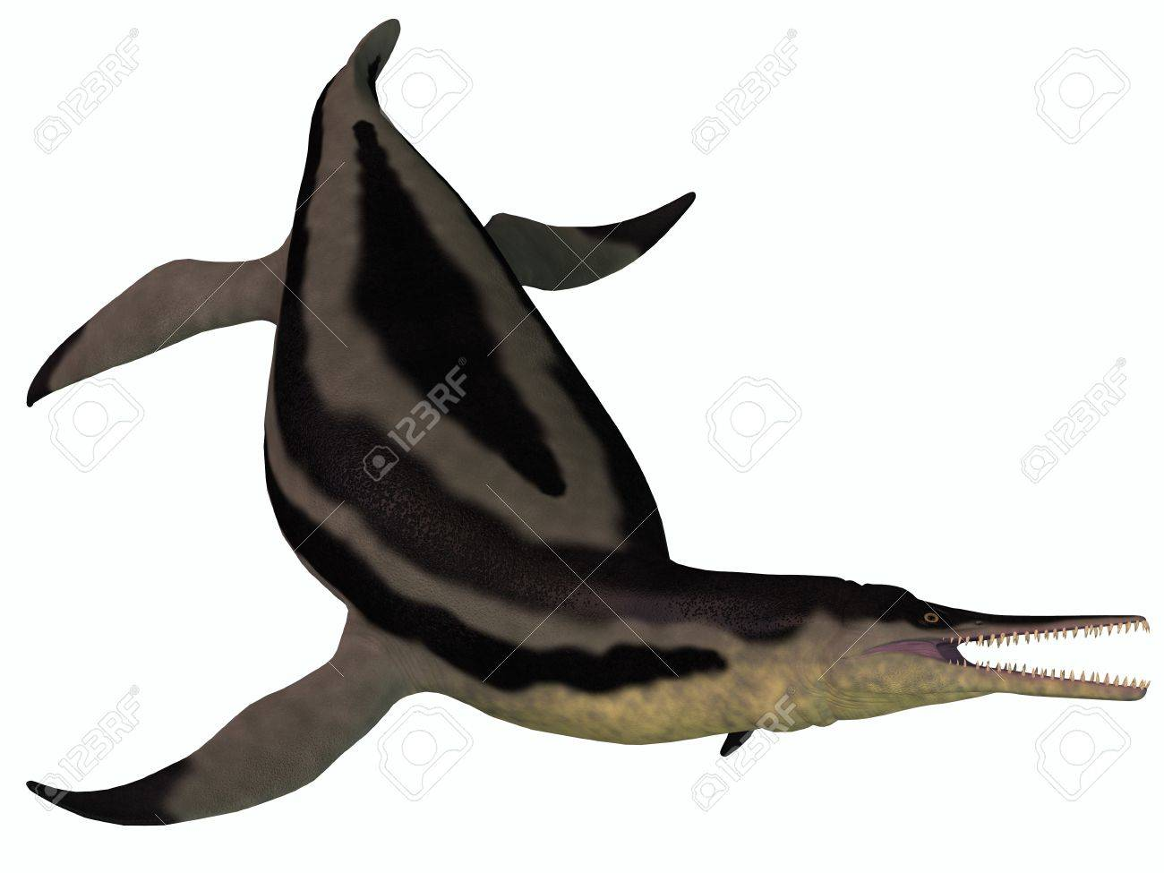 Dolichorhynchops Plesiosaur on White - Dolichorhynchops is an extinct genus of short-neck Plesiosaur from the Cretaceous Period and lived in the oceans of North America Stock Photo - 21763358