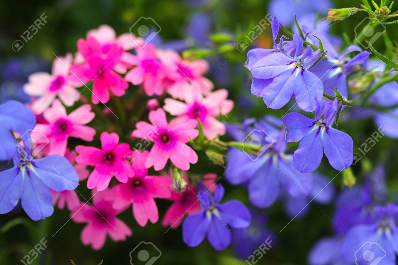 Pink Phlox And Violet Flowers Phlox And Violets Can Be Either