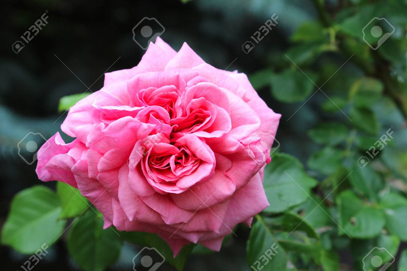 Rose Rose Une Rose Est Une Plante A Fleurs Ligneuse Vivace Du