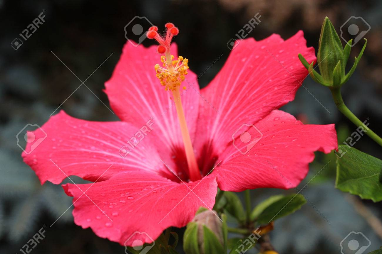 Hibiscus red flower hibiscus rosa sinensis known colloquially hibiscus red flower hibiscus rosa sinensis known colloquially as chinese hibiscus china izmirmasajfo