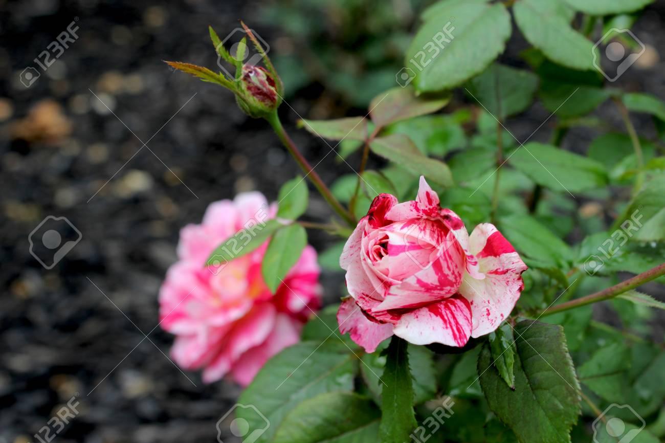 Red White Roses Une Rose Est Une Plante A Fleurs Ligneuse Vivace