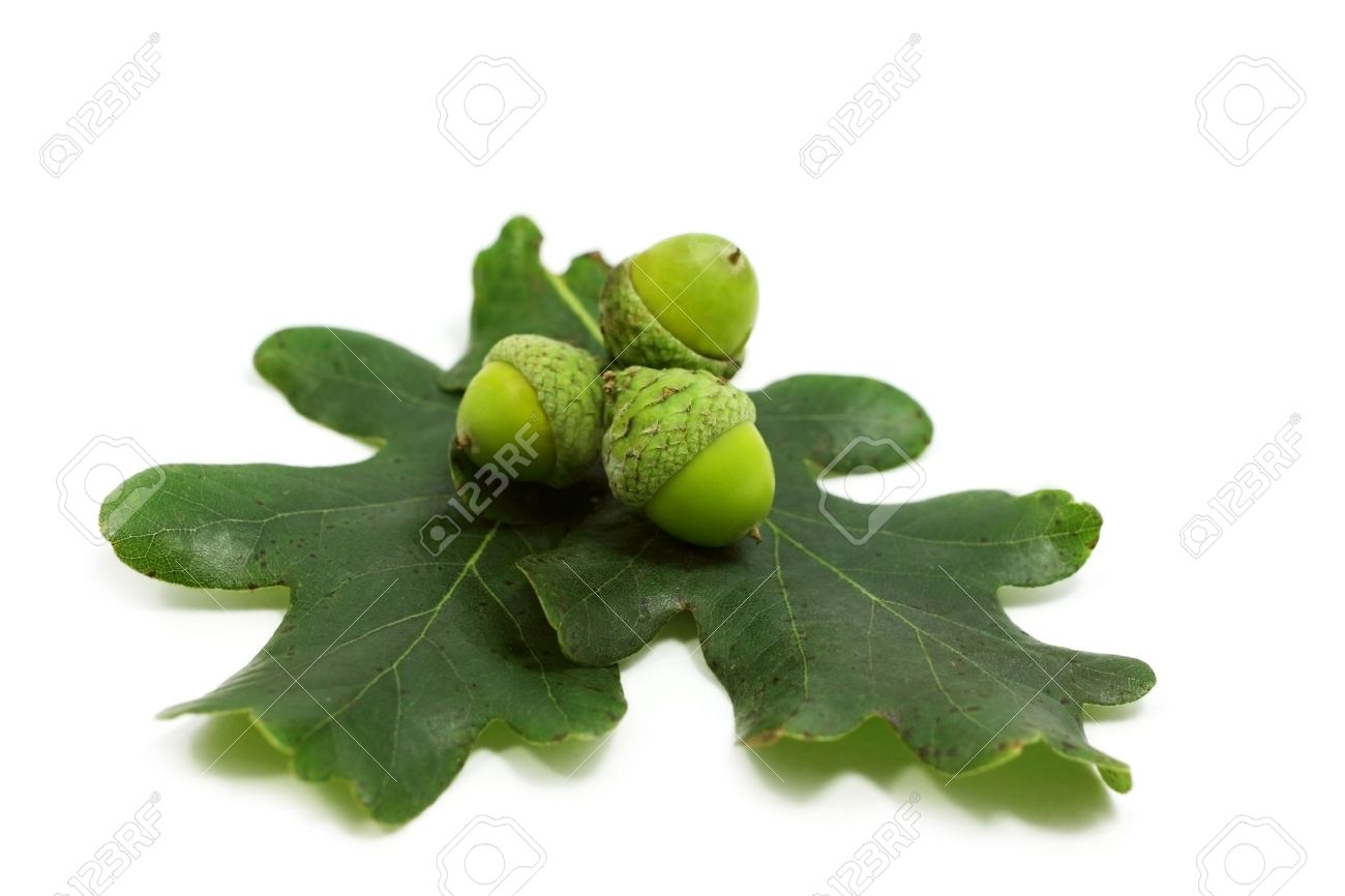three acorns and oak leaves over white Stock Photo - 10381088