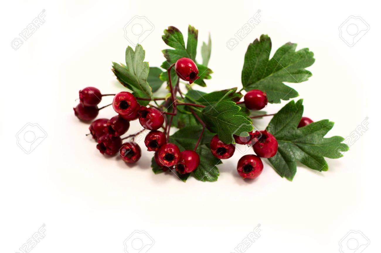 hawthorn berries on white background Stock Photo - 10446999