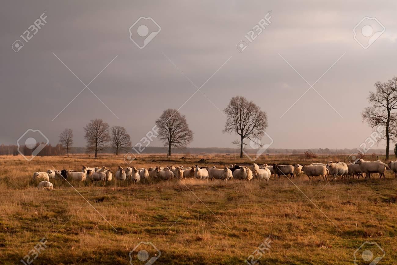 big herd of sheep on savanna pasture, Dwingelderveld Stock Photo - 17308842