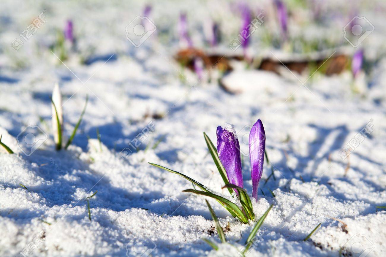 Purple Crocus Flowers In Snow During Early Spring Stock Photo