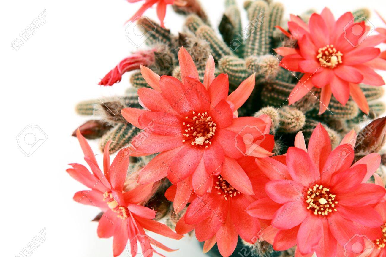 Many Red Cactus Flowers Over White Background Stock Photo, Picture ...