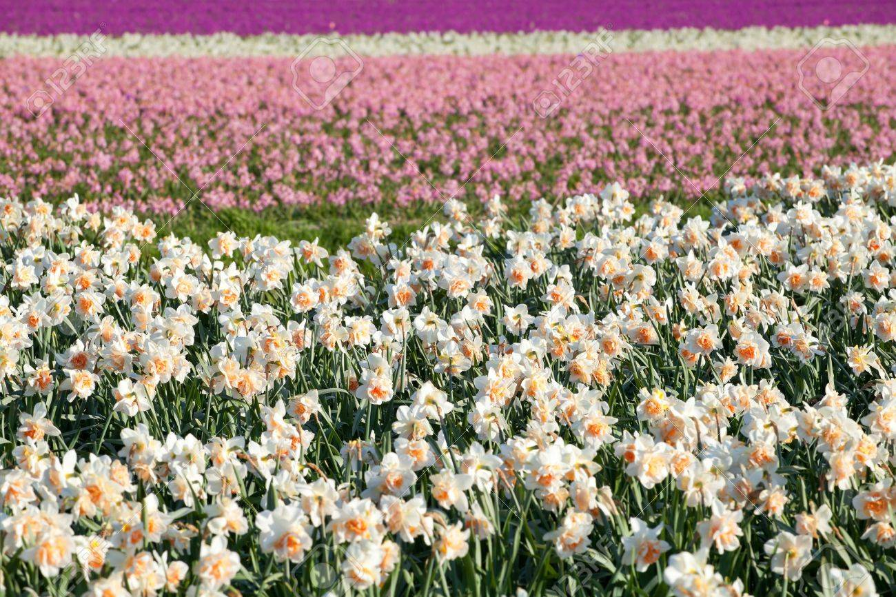 Background Of White Yellow Pink Narcissus And Hyacinth Flowers
