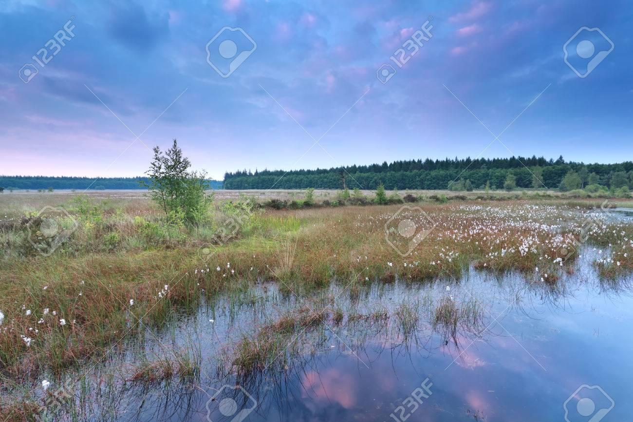 綿の野草ドレンテ州、オランダの...