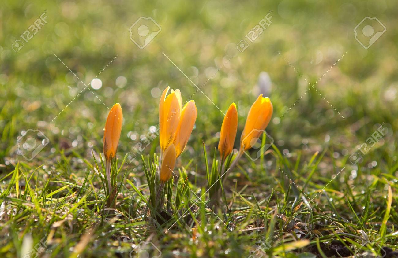 Yellow Crocus Flowers In Spring Sunshine Stock Photo Picture And
