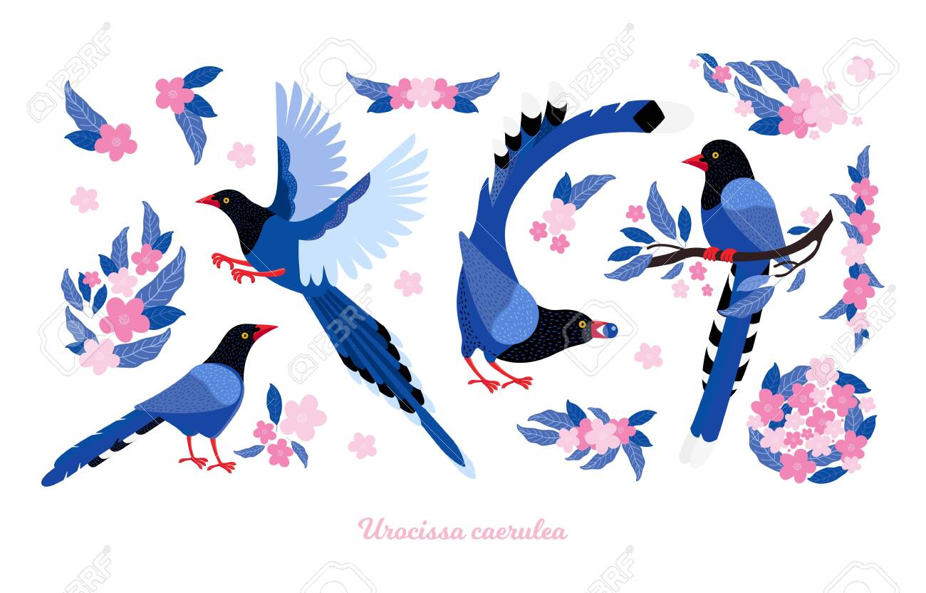 Taiwan azure magpie. Set exotic birds and pink tropical flowers of Taiwan and of Asia. Urocissa caerulea. Cute Blue cartoon bird a in different poses and movements. Hand drawn vector flat illustration - 141111037