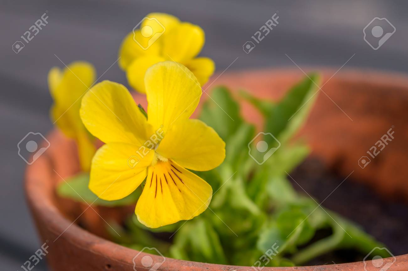 Little Yellow Pansy Flowers Are Blooming In A Pot In The Garden