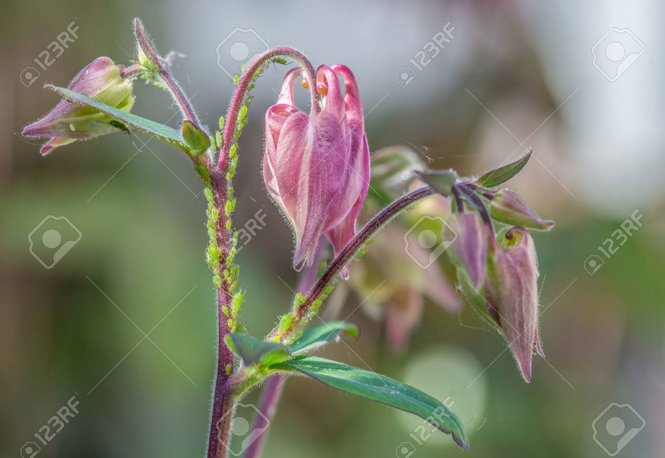 Greenfly On A Columbine Flower The Pretty Pink Flowers Stem Stock