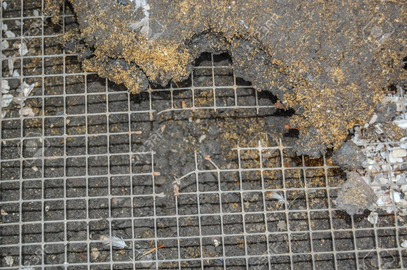 Exposed Rat Runs Under An Aviary Floor Showing Hole Chewed Through ...