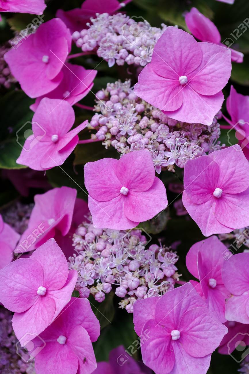 Hydrangea Flowers Close Up Of Pretty Pink Flowers And Sepals