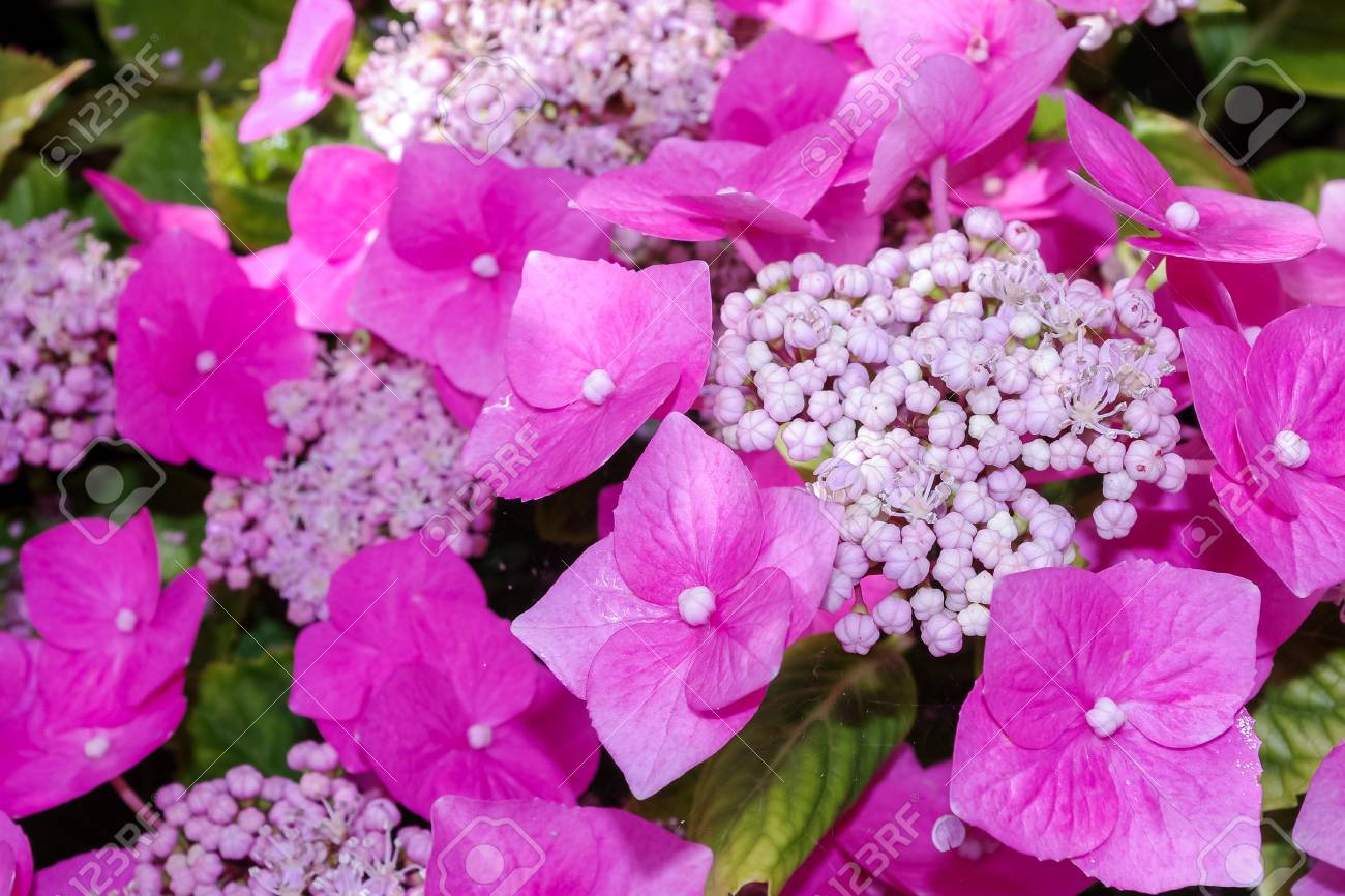 Hydrangea Flowers Close Up Of Pretty Pink Flowers And Sepals Stock