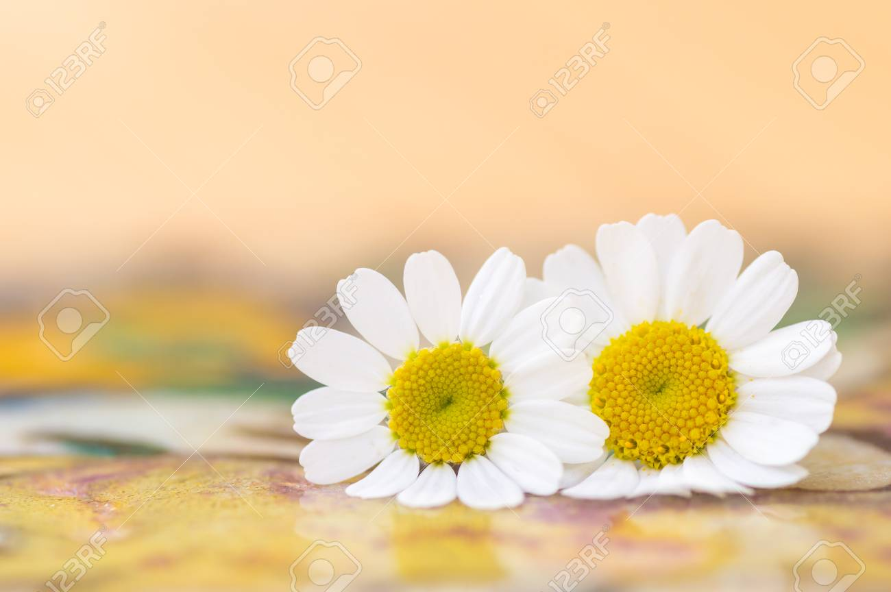 Feverfew flowers close up detail of two daisy like flowers with feverfew flowers close up detail of two daisy like flowers with a brightly lit colourful izmirmasajfo