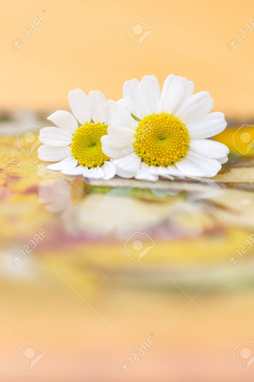 Feverfew flowers close up of two daisy like flowers with a brightly feverfew flowers close up of two daisy like flowers with a brightly lit colourful background izmirmasajfo