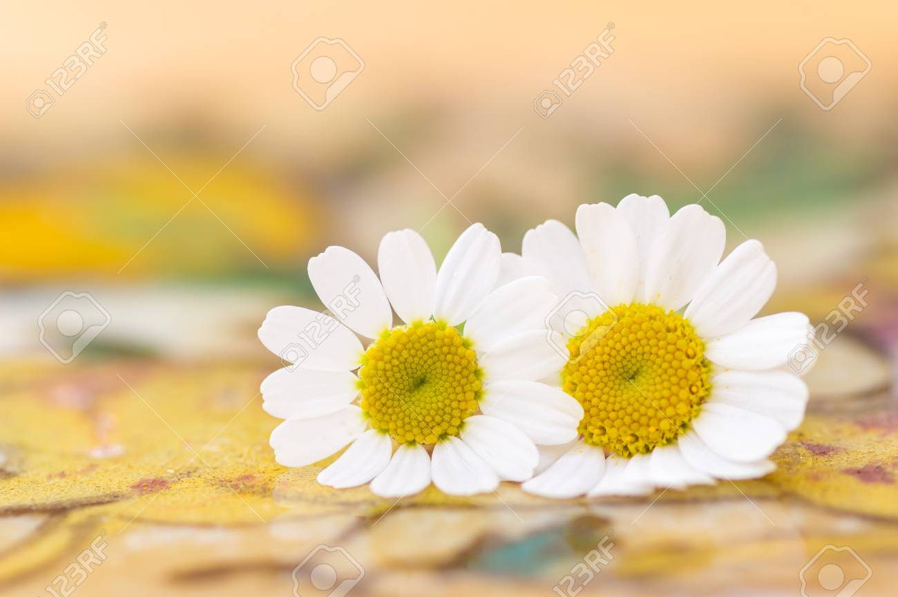 Feverfew Flowers Close Up Detail Of Two Daisy Like Flowers With