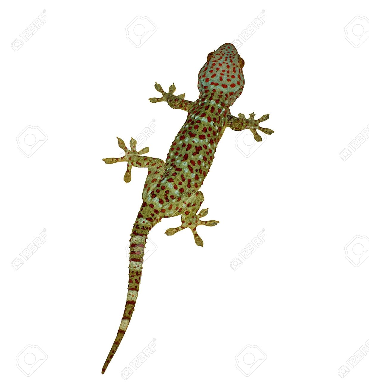 gecko stock photos royalty free gecko images and pictures