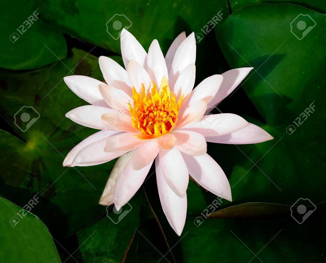The White lotus Stock Photo - 12624194