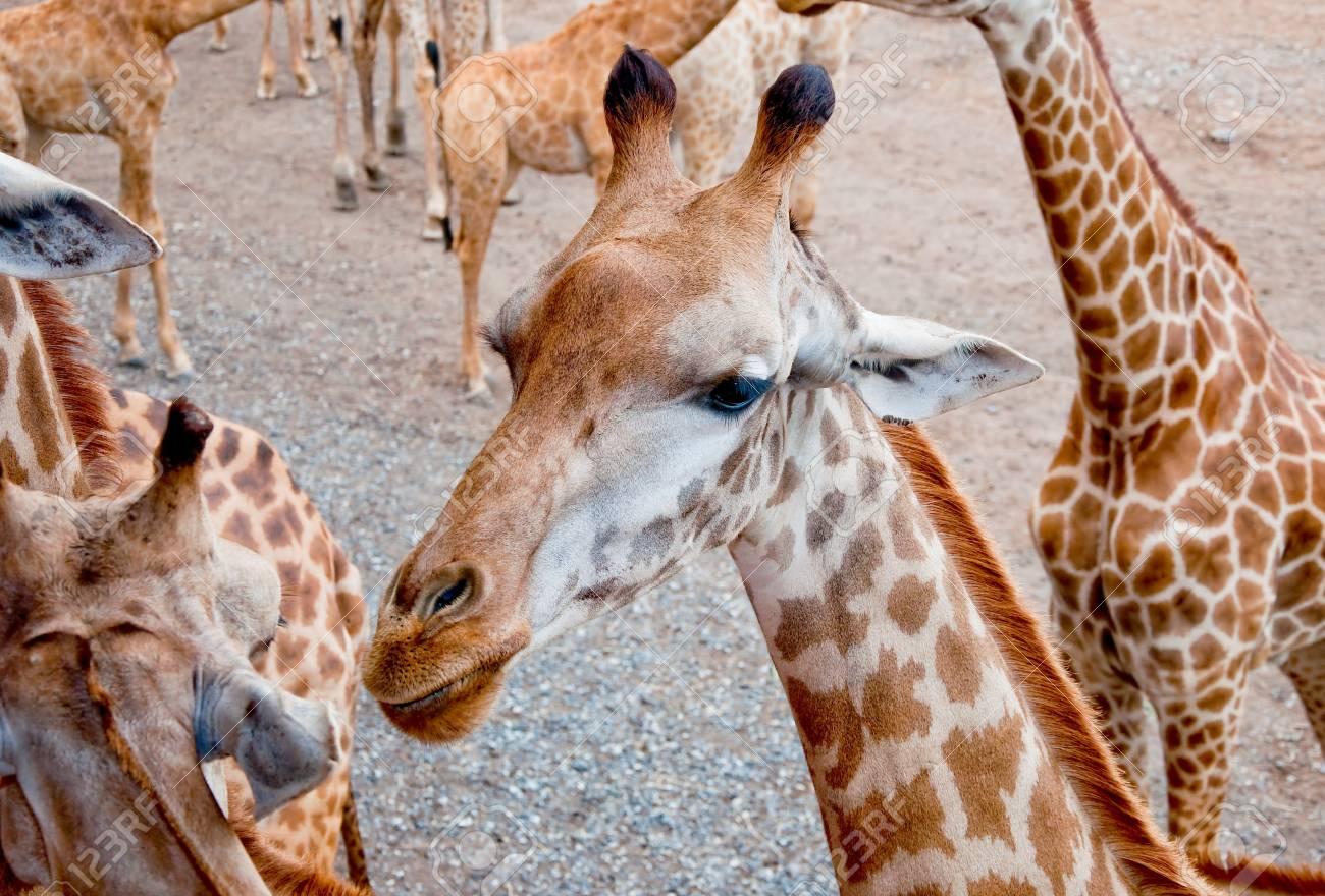 The Giraffe Stock Photo - 13093273