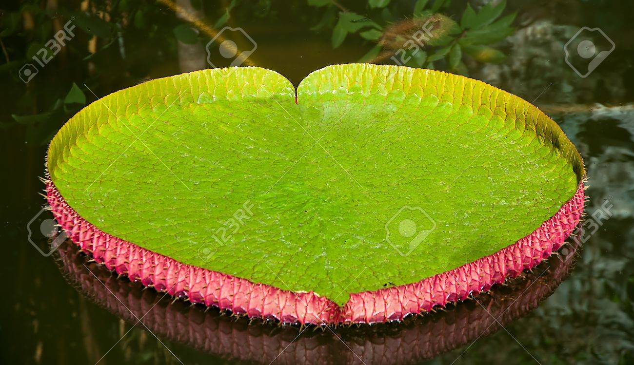 The Victoria Water Lily Stock Photo - 13148633