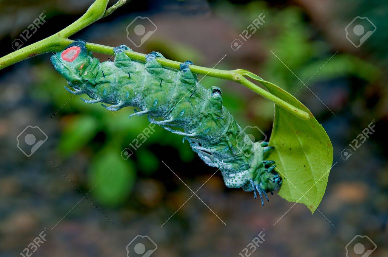 the caterpillar eating leaves of a tree stock photo picture and