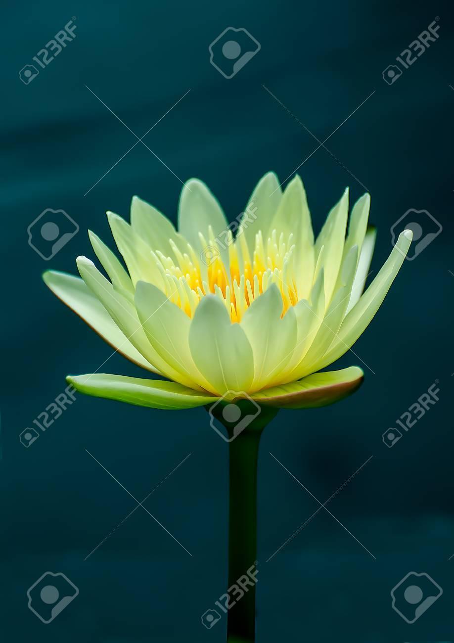 The Beautiful lotus on pond Stock Photo - 15031773
