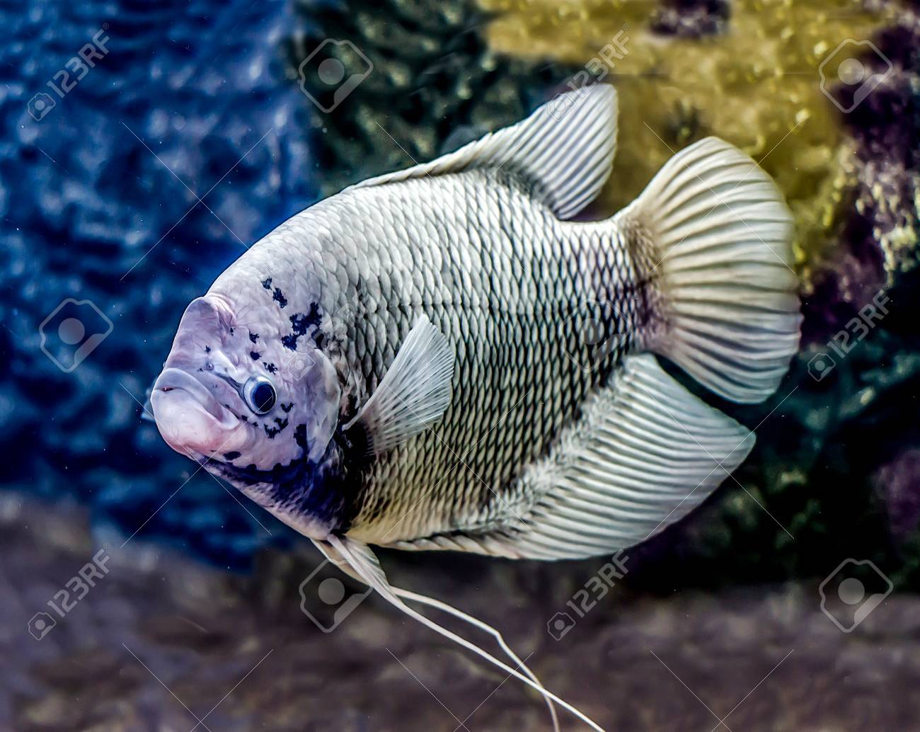 Beautiful Tilapia Fish In Water Tank Stock Photo