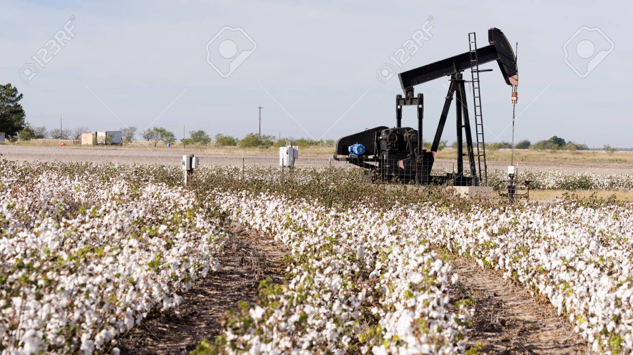 A Pump Jack labors fracking while Cotton sits ready for harvest
