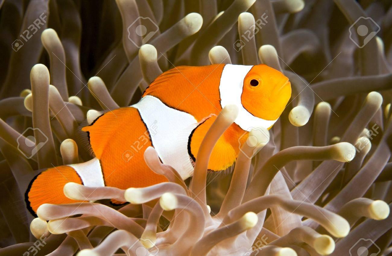 a clown anemonefish swimming in its anemone, underwater Stock Photo - 3296082