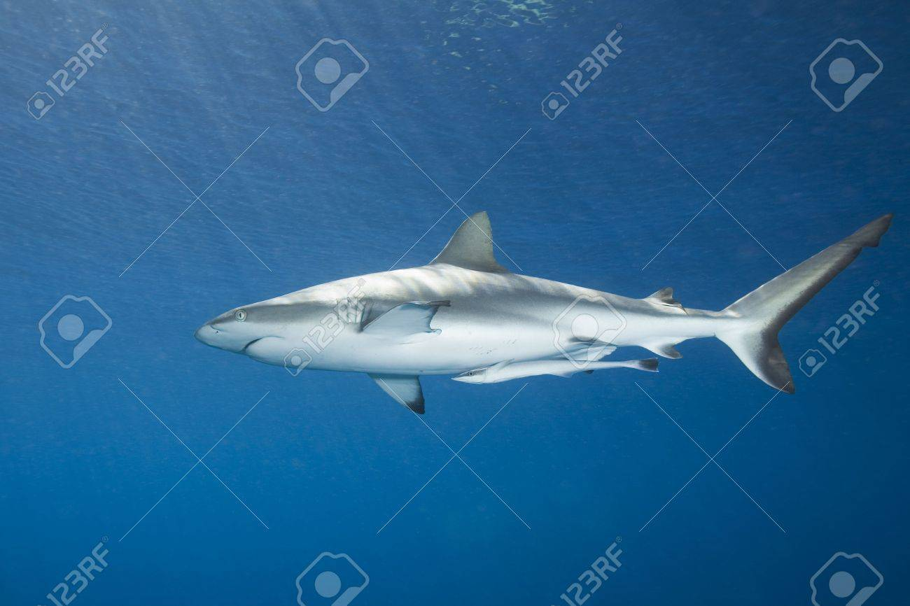 A grey reef, or whaler shark, swimming in shallow water, with sunbeams and a slight reflection on the surface. There is a slender suckerfish, or remora attached to its tummy. Stock Photo - 3675161