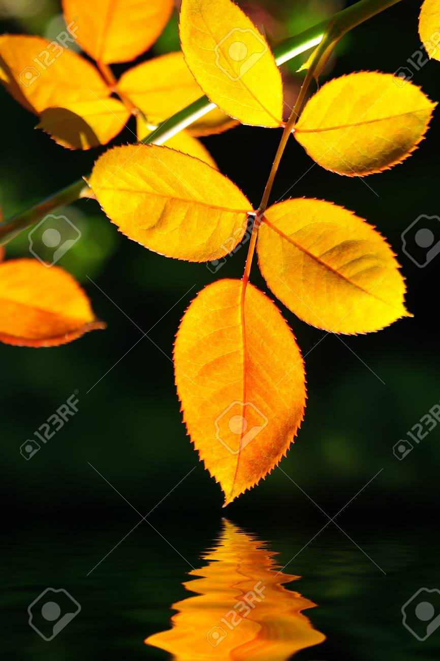 Close up of yellow fall leafs over calm water with reflection Stock Photo - 5990731