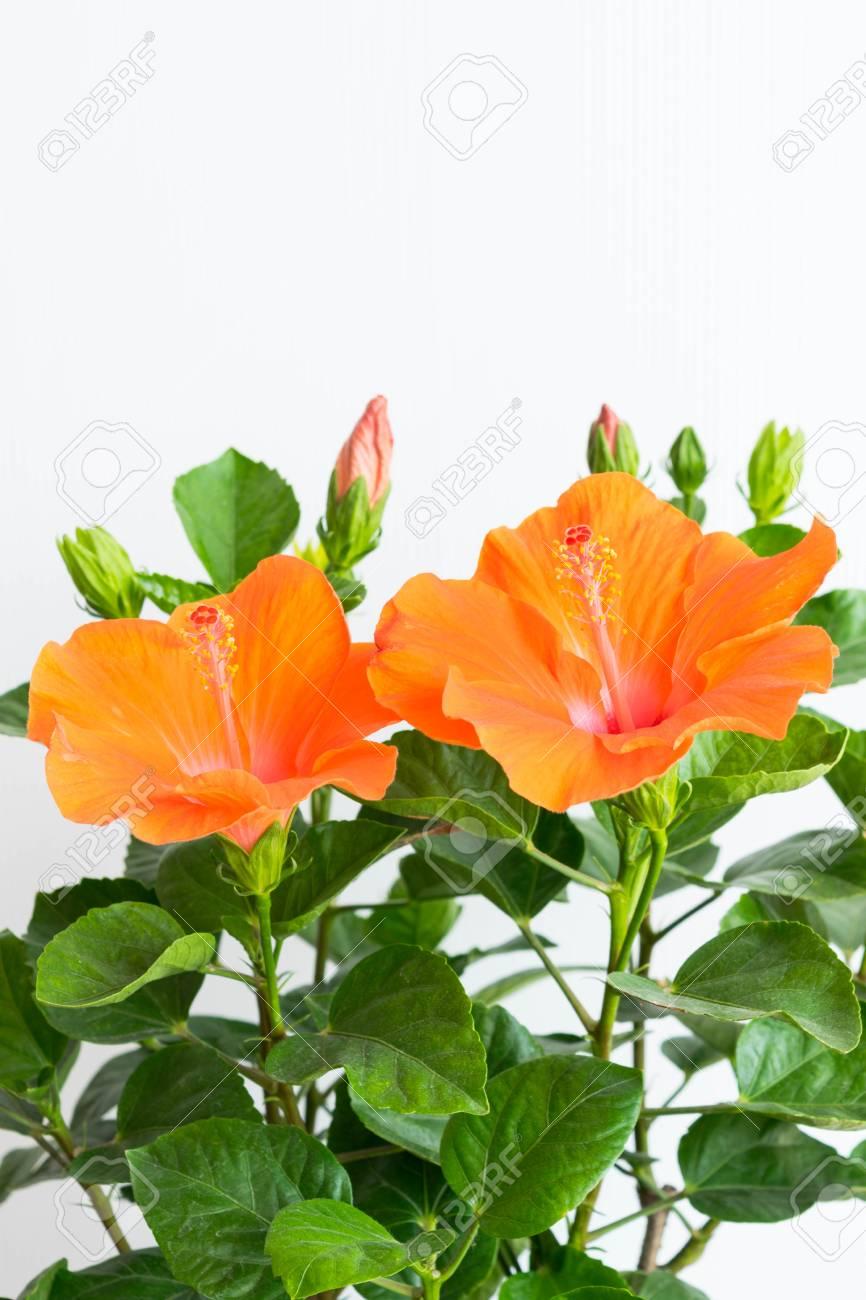 Hibiscus rosasinensis or chinese hibiscus or china rose or hawaiian hibiscus rosasinensis or chinese hibiscus or china rose or hawaiian hibiscus or shoe flower in garden izmirmasajfo