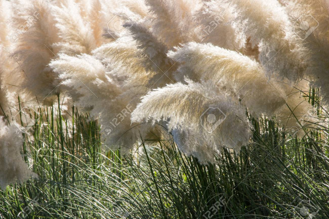 White Pampas Grass Bushes In Garden Stock Photo Picture And