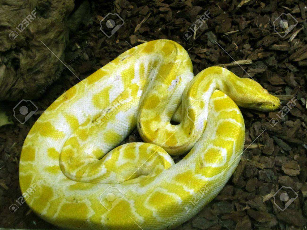 Coiled up large yellow and white Burmese Python Stock Photo - 10049206