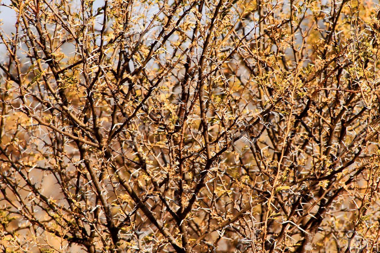 Bushveld Thorn Bush Branches With Large White Thorns Stock Photo