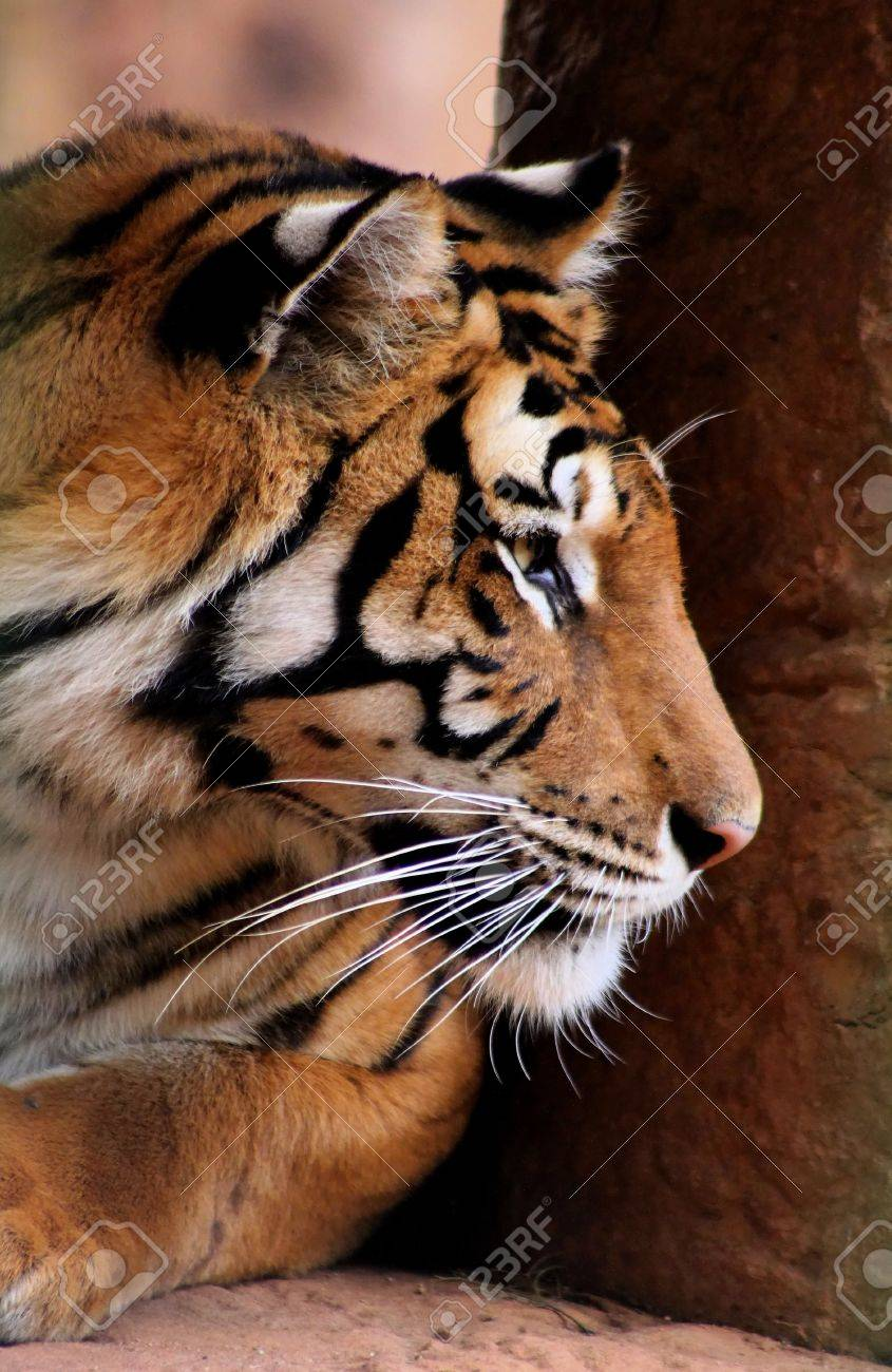 Close-up Side Profile Picture of Tiger Face